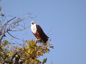 Photo: African sea eagle