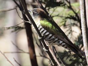 Photo: Shining Bronze-cuckoo