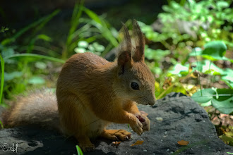Photo: Tufty the Squirrel  For #SquirrelSaturday curated by +Skippy Sheeskinand +SE Blackwell.