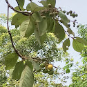 Nance tree