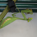 Common Green Mantid And Prey