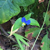 Asiatic Dayflower, Dew Herb