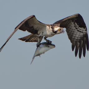 Osprey with fish by Joe Saladino - Animals Birds ( bird, fish, animal, osprey,  )