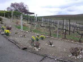 Photo: Daffodils, grape vines and apricot trees in the background.