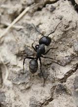 Photo: Camponotus vagus  Hymenoptera > Formicidae