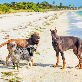 Smile Big by Meaghan Browning - Animals - Dogs Portraits ( labrador retriever, water, dogs, happy, ocean, beach, doberman, aussie )