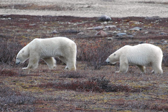 Photo: Two Polar Bears -- I guess they are BiPolar Bears (haha)