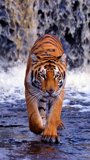 Tiger Live Wallpaper Apk Download Apkpure Co