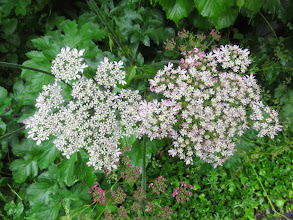 Photo: 21 Jun 13 Priorslee Lake: As for this umbellifer: hmmm. All the flowers in the heads have 5 well-separated petals whereas most species show denser clustering at the centre of the head. Also the heads that are yet to open fully are quite pink-toned .... (Ed Wilson)