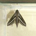 Impatiens hawkmoth or taro hornworm