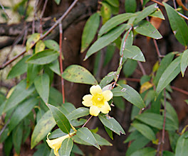 Photo: Gelsemium sempervirens -- Carolina Jessamine. A native climbing evergreen vine with early spring bright yellow flowers. These are on-site volunteers.