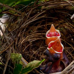 Hungryyyy! by Mohamad Sa'at Haji Mokim - Nature Up Close Hives & Nests ( nature, mouth, nests, small, birds )