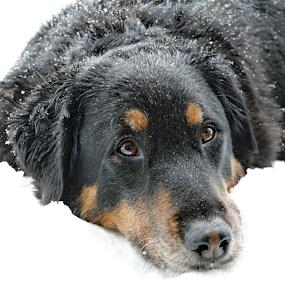 Snow Lovin' Pup by Kari Schoen - Animals - Dogs Portraits (  )
