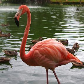 Pink Flamingo by Brian Lord - Animals Birds ( bird, water fowl, nature, ducks, pink flamingo )