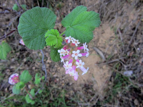 Photo: Currant…one of the very few occurrences of blooming flowers today