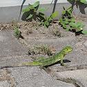 Iguana Rayada en etapa de cría.