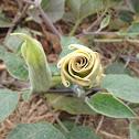 Jimsonweed, Thorn-apples