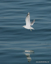 Photo: Mew Gull, La Conner Channel, Washington