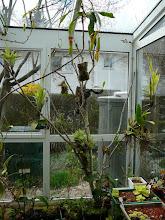 Photo: Epiphytenbaum (Birke)