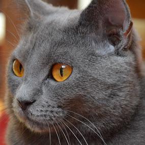 Joconde de Ventadour by Isabelle Ebens - Animals - Cats Portraits ( cat face, cat, cat eyes, blue, chartreux, amber, cat portrait, eyes,  )