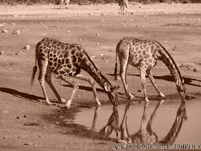 Photo: Pijící žirafy z vodní nádrže Chudob v Etoshe / Drinking giraffes at Chudob waterhole in Etosha