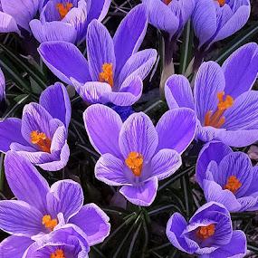 Wild Spring Crocuses by Sue Delia - Flowers Flowers in the Wild ( crocuses, wld flowers, flowers,  )