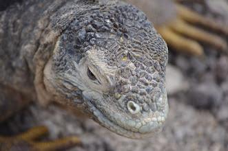 Photo: Land Iguana