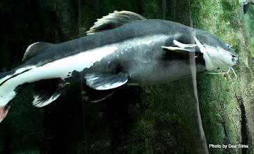 Photo: (Year 3) Day 23 - Large Cat Fish
