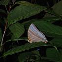 Palmking Butterfly