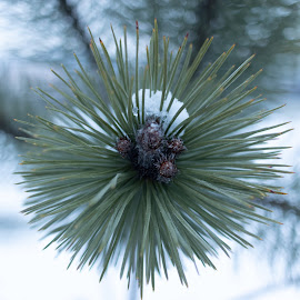 Winter on by Paul Voie - Nature Up Close Trees & Bushes ( pine, snow, bokeh, winter, three )