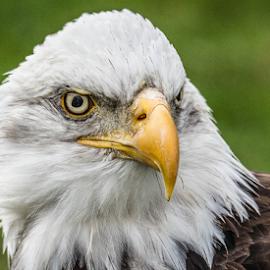 eagle by Garry Chisholm - Animals Birds ( raptor, bird of prey, nature, bald eagle, garry chisholm )