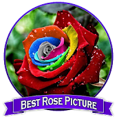 Best Rose Picture