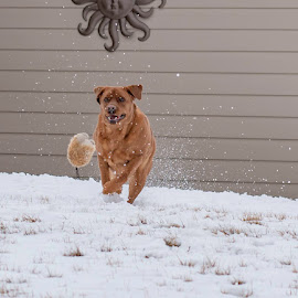 Cooper in snow by Duane Vosika - Animals - Dogs Playing ( running, play, nature, snow, fetch, winter, cold, dog,  )