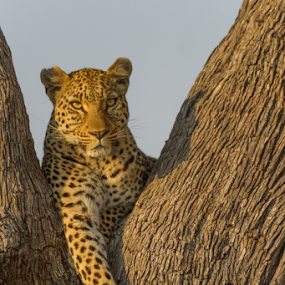 Resting by Tobie Oosthuizen - Animals Lions, Tigers & Big Cats ( mammals, botswana, {panthera pardus}, wildlife, predators, country, okavango delta, nature, [meat eater], africa, {carnivore}, leopard, animal )