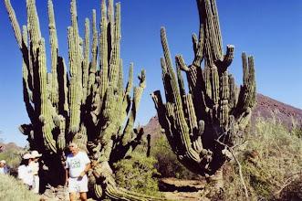Photo: Désert du Sonora, de très vieux cactus.