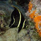 French Angelfish Juvenile