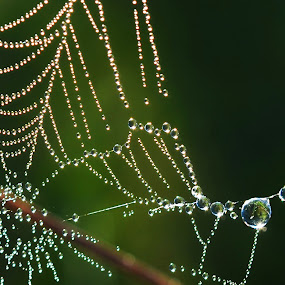 Spider web coated with dew by JoAnn Palmer - Nature Up Close Webs ( sun rise, moisture, dew, web, spider, morning, spider web, droplets,  )