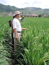 Photo: Dr. Zhu Defeng, senior scientist and deputy director at China National Rice Research Institute, Hangzhou, making a field visit to the farm of Nie Fu-qu, Bu Tou village, Tien Tai county, Zhejiang province. [Photo by Norman Uphoff]