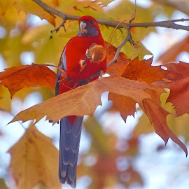 Crimson Rosella by Lynne Sanderson - Nature Up Close Other Natural Objects