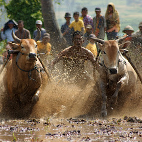 cow racer II by Andika Putra - News & Events World Events ( cow, racer, west sumatera, culture )