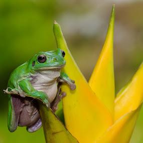 by Eko Probo D Warpani - Animals Amphibians ( colour, animals, wild life, nature, color, frog, indonesia, d7100, nikkor, nikon, kodok, amphibians, animal,  )
