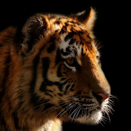 watching  by Tracy Morris - Animals Lions, Tigers & Big Cats