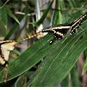 King Swallow Tail