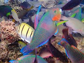 Photo: Scarus rivalatus (Surf Parrotfish), Miniloc Island Resort reef, Palawan, Philippines.