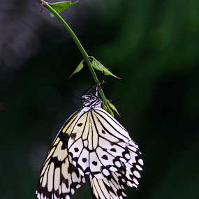 Up, close and personal by Rebecca Roy - Animals Insects & Spiders ( butterfly, butterflies, white and black butterfly, insects, insect,  )
