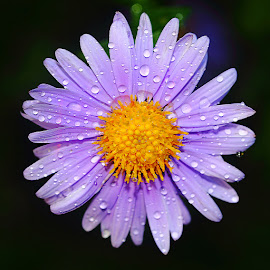 Aster after the rain by Gérard CHATENET - Flowers Single Flower