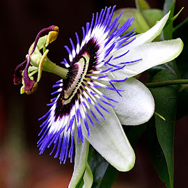 Passionflower in Profile by Chrissie Barrow - Flowers Single Flower ( stigma, single, purple, stamens, petals, green, white, passionflower, blue, brown, garden, flower, profile )
