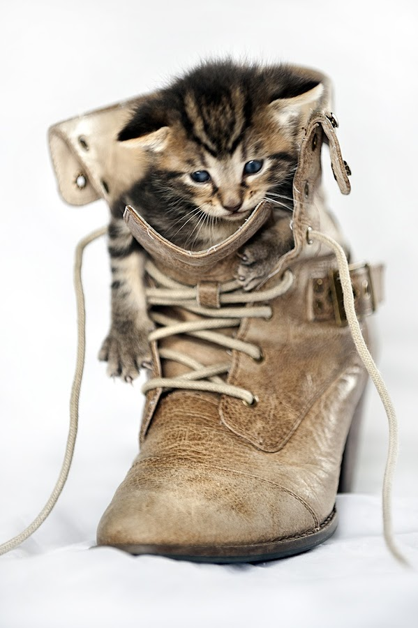 Mr Bojangles 2 by Chevy Morgan - Animals - Cats Portraits ( boot, kitten, cat, adorable, cute, shoe )