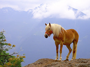 Photo: Haflinger