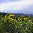 Yellow Banner Plant